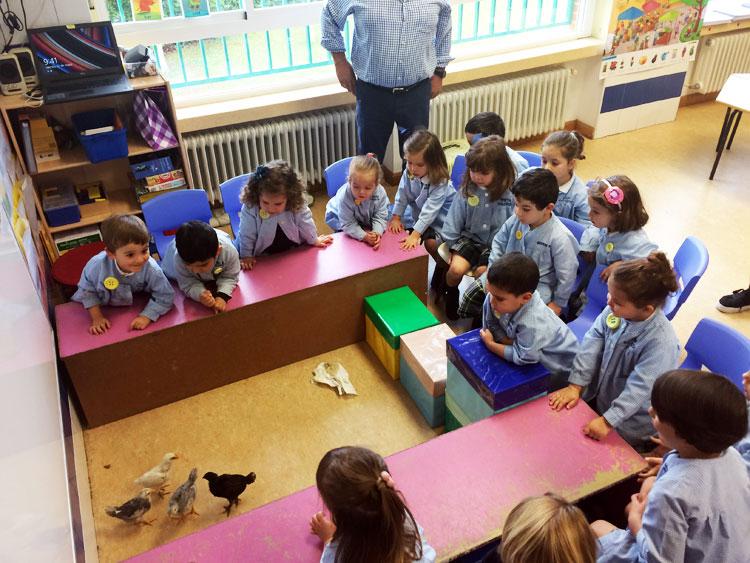 1º de Educación Infantil, línea A, estudiando los pollitos.